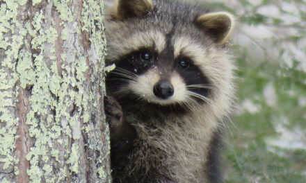 TOMS RIVER: RACCOON ATTACK