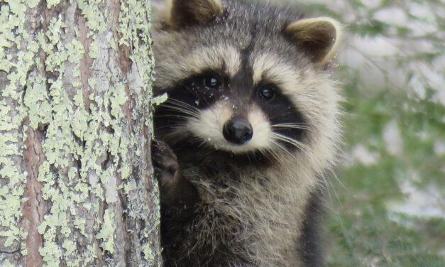 BARNEGAT: Raccoon Drama