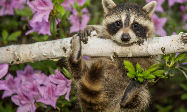 BEACHWOOD: Unwanted Raccoon Family Living in Homeowner's Attic