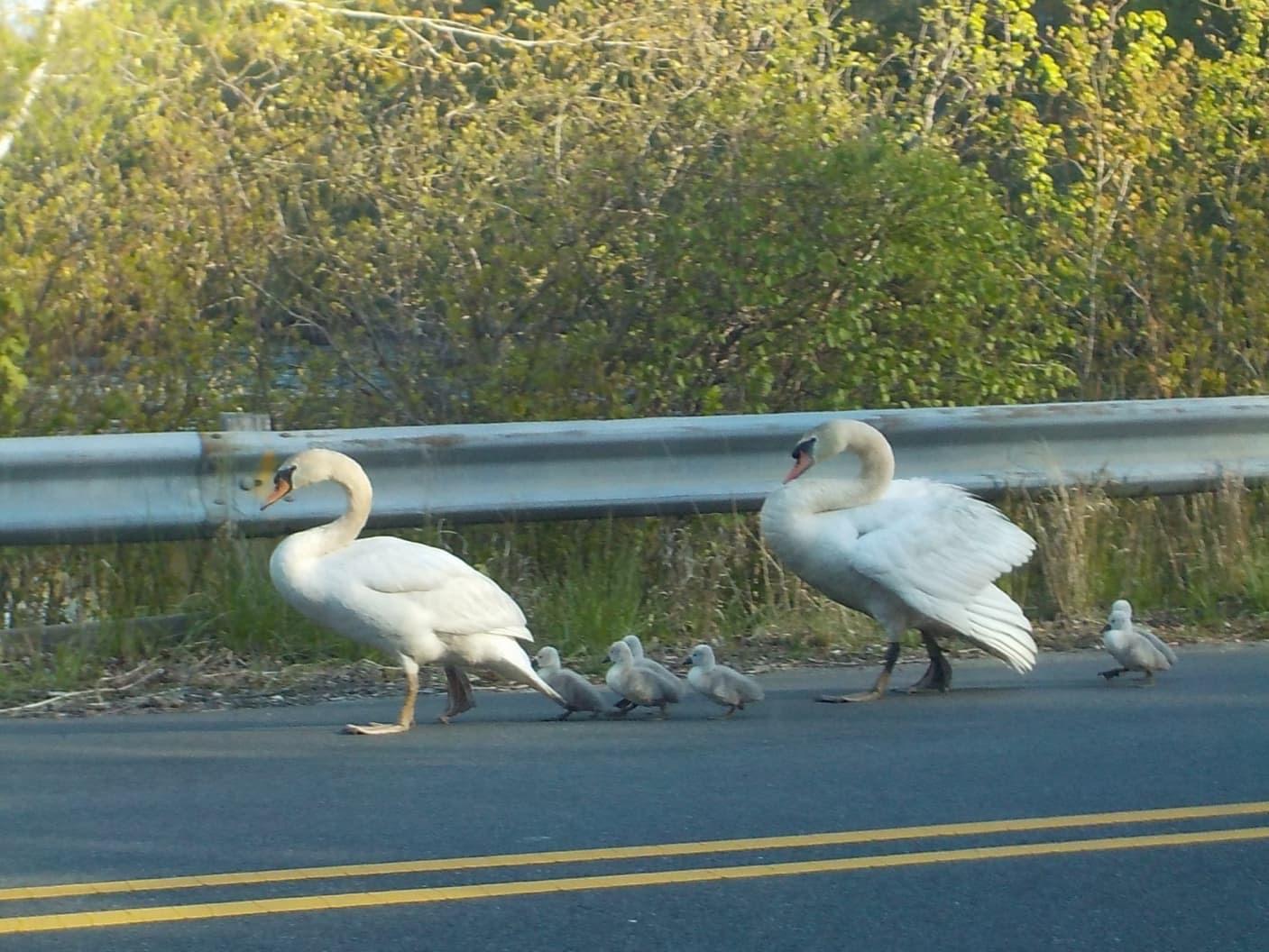 Swans Defy Social Distancing Orders
