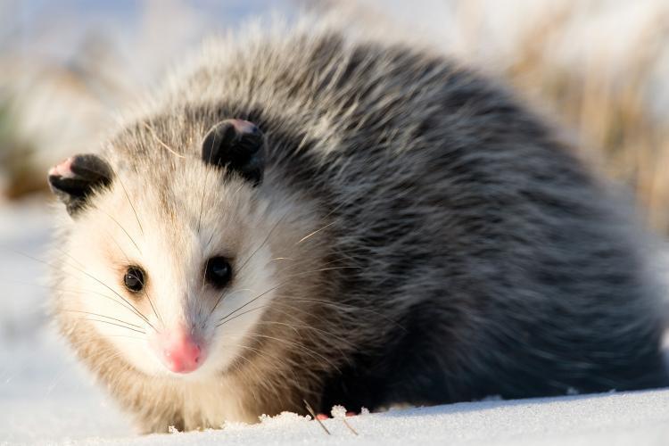 BEACHWOOD: Injured Opossum Struck in Road