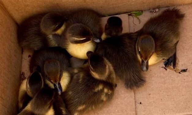 HOWELL: Baby Ducks Stuck in Sewer