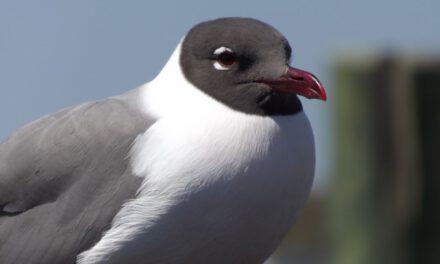 SSP: DOA Seagull