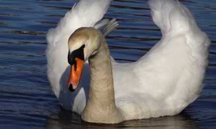 WARETOWN: Stubborn Swan Won't Leave- Caller Even Left Gate Open!