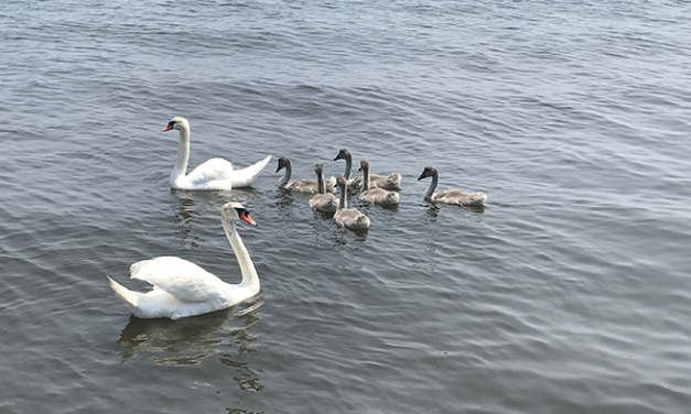 """BRICK: Residents Don't Want """"Aggressive"""" Male Swan Killed by USDA- Argue He is Actually Nice (Unless You Toss Trash at Him)"""